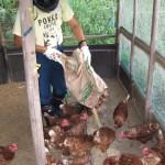 鶏舎餌やり