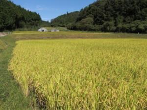 2015稲